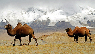 Camels meander across the bleak landscape near Karakul Lake, with the Pamir Mountains looming in the background. The area is reached by the Karakorum Highway, the world's highest paved international road, which links China with Pakistan.